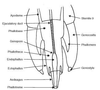 Male genitalia (diagrammatic).