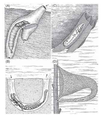 Representative lotic insects in their environment. (A) Caddisfly larva (Macrostenum) in its retreat grazing on materials trapped on its capture net, (B) mayfly larva of Hexagenia (Ephemeridae) in its U-shaped burrow, (C) tubelike nets of phi-lopotamid caddisfly larvae (Philopotamidae) on the lower surface of a stone, (D) the caddisfly larva and cornucopia-shaped net of Neureclipsis (Polycentropodidae).rapid flow. Many chironomid larvae construct fixed silken retreats for attachment or silken tubes that house the larvae, with a conical catchnet spun across the lumen of the tube. Periodically, the larva devours its catchnet with adhering debris that has been swept into the burrow by the water currents. Meanwhile, other chironomid larvae such as Rheotanytarsus spp. construct small silk cases that are attached to the stream substratum with extended hydralike arms. The arms project up in the current and are smeared with a silklike secretion to capture particles.