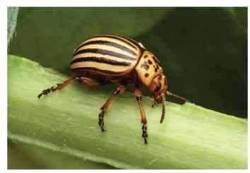 Adult female Colorado potato beetle on potato.