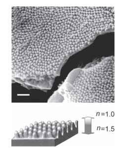 (Top) Podosesia syringae, patch of wing fractured to show its internal structure as well as the fine protuberances or nipples that form the antiglare coating. A few of those on the wing reverse show through the break at bottom center. Bar, 1 |im. (Bottom) Basis of the antiglare effect. The tapered shape of the protuberances produces a gradual change in refractive index from that of air (n = 1) to that of cuticle (n = 1.5 in this example), so that at the interface there is neither refraction nor reflection to disturb the passage of light.(typically n = 1.5-1.6) so that there is no sharp interface to refract or reflect light as it passes from one phase to the other.