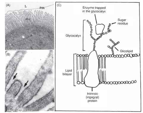 Midgut cell apexes: (A) Electron micrograph of M. domestica posterior midgut cell. L, lumen; Mv, microvilli; PM, peritrophic membrane. Magnification: 7500 X. (B) Electron micrograph of columnar cell of Erinnyis ello anterior midgut. Detail of microvilli showing glycocalyx (arrows). Magnification: 52,000 X. (Reproduced with permission from Santos, C. D., Ribeiro, A. F., Ferreira, C., Terra, W. R. (1984). The larval midgut of the cassava hornworm (Erinnyis ello). Ultrastructure, fluid fluxes and the secretory activity in relation to the organization of digestion. Cell Tiss. Res. 237, 565-574). (C) Diagrammatic representation of the distribution of enzymes on the midgut cell surface. Glycocalyx: the carbohydrate moiety of intrinsic proteins and glycolipids occurring in the luminal face of microvillar membranes