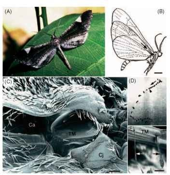 Nocturnal butterflies of the superfarmly Hedyloidea possess ultra-sound-sensitive ears on their wings that mediate evasive flight maneuvers to avoid bats. (A) A male Macrosoma heliconiaria (Hedylidae). (B) Lateral view of M. heliconiaria, showing the general location of the right ear. An arrow points down the canal toward the tympanic cavity where the tympanic membrane resides. Scale bar, 3 mm. (C) Scanning electron micrograph of the right tympanal ear. The hind wing and a dense fringe of scales have been removed to reveal the tympanic cavity. Ca, canal; Cj, conjuctiva. Scale bar, 110 |im. (D) Consecutive video images (30 frames/s) of a free-flying M. heliconiaria responding to a short (~250ms), high-frequency (25kHz), high-intensity (>100dB) sound. The direction of flight is marked with an arrow and the stimulus onset with an arrowhead. (E) Scanning electron micrograph of the two most proximal chordotonal organs (arrows), viewed from inside the tympanic chamber. The largest organ attaches to the proximal border of the tympanal frame (black arrow). TM, tympanic membrane. Scale bar, 50 |im. (A and E courtesy of J. Yack. B-D were modified, with permission, from Yack. J. E., and Fullard, J. H. (2000). Ultrasonic hearing in nocturnal butterflies. Nature 403, 265-266.)