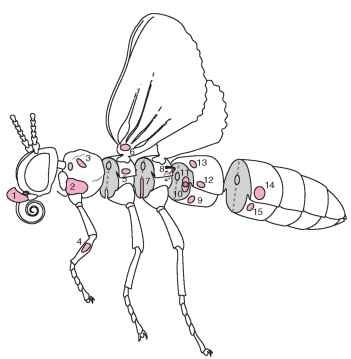 A schematic drawing of a generalized insect showing 15 body locations where tympanal ears have been identified. Each number represents a position on the body where an ear has evolved independently in one or more taxa, although all species within a taxonomic division do not necessarily possess ears. (1) Lepidoptera: Sphingidae (Choerocampini, Acherontini); location: palp-pilifer region. (2) Diptera: Sarcophagidae, Tachinidae; location: ventral inflation of prosternum, between coxa. (3) Coleoptera: Scarabaeidae, Dynastinae; location: dorsolateral region of proster-num. (4) Orthoptera: Ensifera: Gryllidae, Tettigoniidae; location: tibia of foreleg. (5) Heteroptera: Hydrocorisae (water boatmen); location: lateral mesothorax, ventral to wing base. (6) Lepidoptera: Papilionoidea, Hedyloidea; Neuroptera: Chrysopidae; location: base of ventral forewing. (7) Dictyoptera: Mantodea; location: within a deep groove between the metathoracic legs. (8) Lepidoptera: Noctuoidea; location: within a cavity on the posterior metathorax. (9) Lepidoptera: Pyraloidea; location: within a cavity on ventral surface of first abdominal segment. (10) Lepidoptera: Geometridae; location: within a cavity on anterior side of first abdominal segment. (11) Lepidoptera: Drepanidae; location: internalized tympanal membrane located between two air-filled chambers on first abdominal segment. (12) Orthoptera: Acrididae; location: lateral surface of first abdominal segment. (13) Coleoptera: Cicindelidae; location: dorsal surface of first abdominal segment, beneath the elytra. (14) Homoptera: Cicadidae; location: within cavity on lateral second abdominal segment. (15) Lepidoptera: Uraniidae; location: within cavity at the anterior (females) or posterior (males) end of the second abdominal segment.