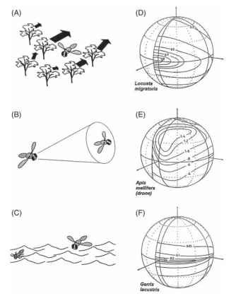 (A-C) Three situations that lead to asymmetries in the distribution of resolution in apposition compound eyes. (A) Flight through vegetation. (B) Chasing mates or prey. (C) Flight close to flat surfaces. (D-F) Plots of the density of ommatidial axes around the eyes of three insects, corresponding to the three situations in A-C. (D) Locust (forward flight pattern). (E) Drone bee (chasing females). (F) Water strider (hunting on water surface). Contours show the numbers of ommatidial axes per square degree of space around the animal.
