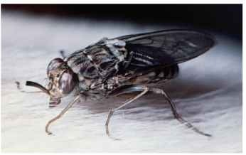 An adult tsetse fly in the process of feeding.