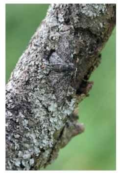 The peppered moth has a third intermediate form, insularia.