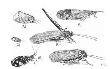 Adult Neuroptera: (A) Psychopsidae; (B) Myrmeleon-tidae; (C) Hemerobiidae; (D) Ascalaphidae; (E) Osmylidae; (F) Itho-nidae.