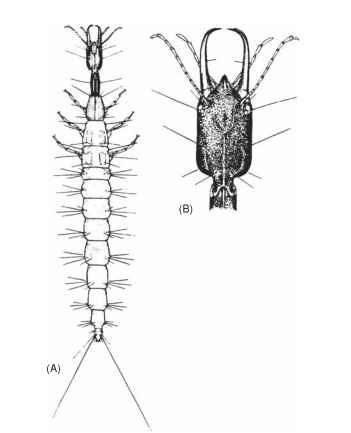 (A) larval body; (B) larval head.