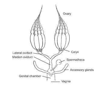 The female reproductive system, consisting of the ovaries that contain the ovarioles. As the egg moves down the median oviduct, it is fertilized by sperm released from the spermatheca. The egg is oviposited when it is deposited outside the body