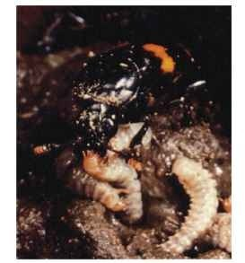 Female N. orbicollis regurgitates to larvae while the male, in the background, keeps the carcass free of fungi.