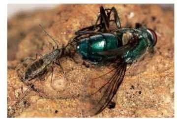 A lygaeid, Wekiu bug, Nysius wekiuicola. feeding on Calliphoridae.