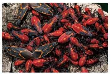 Box elder bugs (adult and nymphs), Boisea trivittatus (Rhopalidae: Serinethinae).