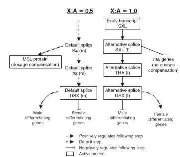 Genetic sex differentiation