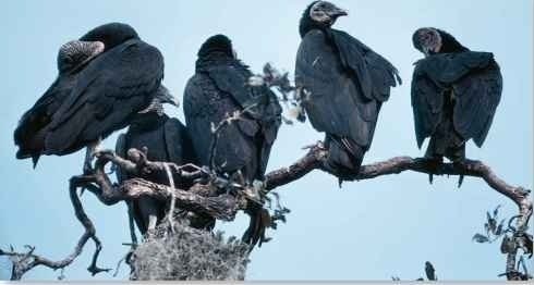A Communal roosting The black vulture can be social when not eating and is often found roosting in trees with other vultures.