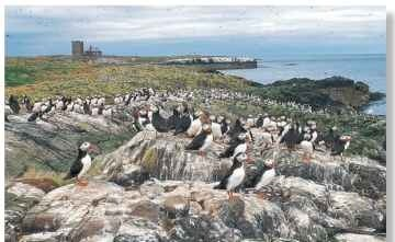 A Island break Puffins breed on rocky, wind-blown coastal islands.