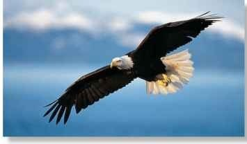A Sky master The bald eagle soars, usually above water, on broad, 7.9' wings.