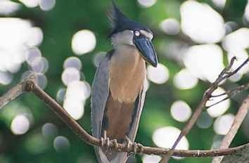 The boat-billed heron makes A Peaceful perch its home in the warm During the day, the heron equatorial swamps of Central rests in thick forests.
