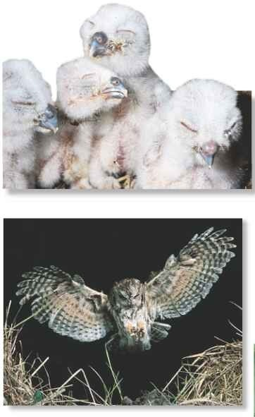 Huddle up Owl chicks hatch separately and vary in size and age.
