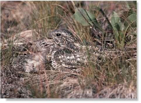 Open-plan nursery Nighthawks rear their chicks on bare ground.