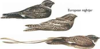 Common nighthawk,Pennant-winged nightjar
