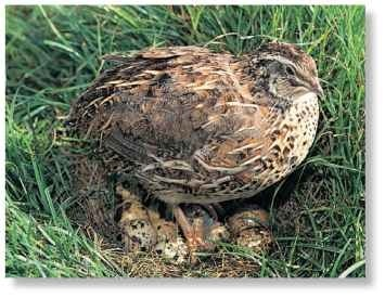 A In her clutches The common quail's nest is located in deep cover as its eggs are prized by many predators.