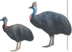 Double-wattled cassowary & Dwarf cassowary