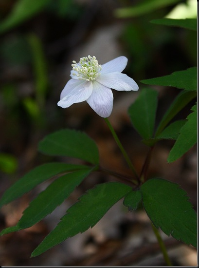 anemone trifolia 2(2)