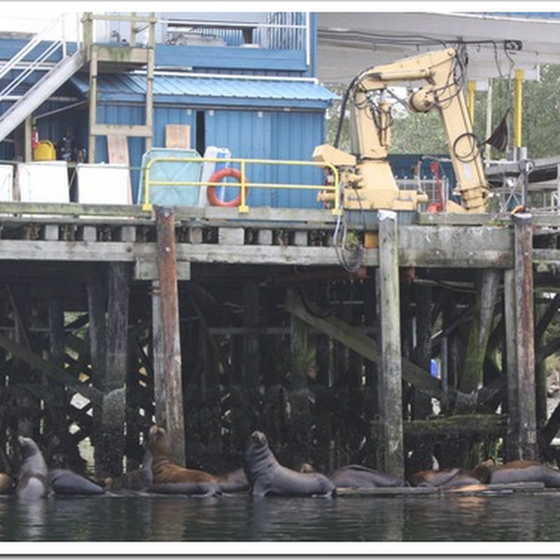 Sea lions at the docks in Ucluelet