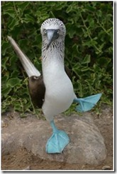 blue footed booby2
