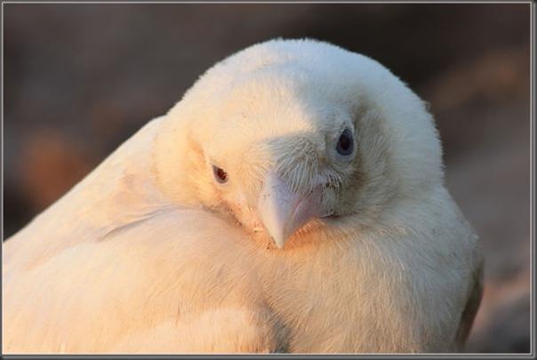 O corvo branco (3)