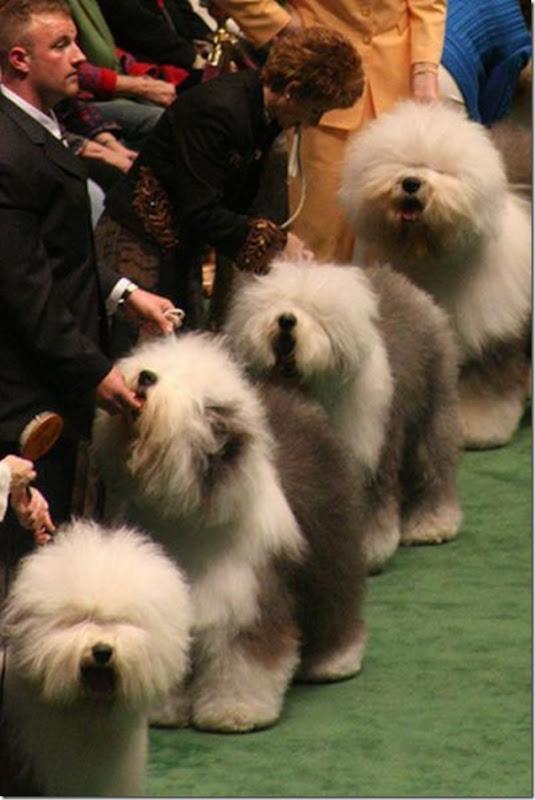 Belos e estranhos penteados caninos (14)