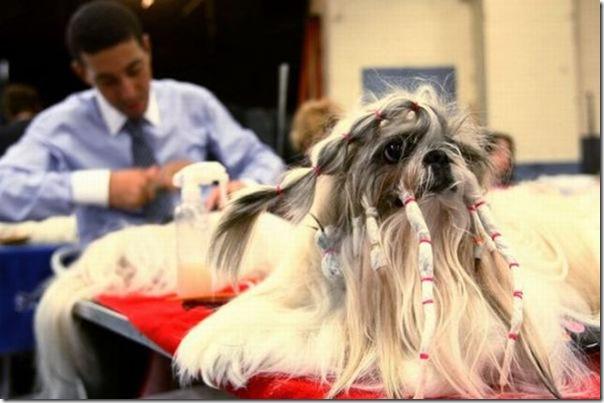 Belos e estranhos penteados caninos (9)