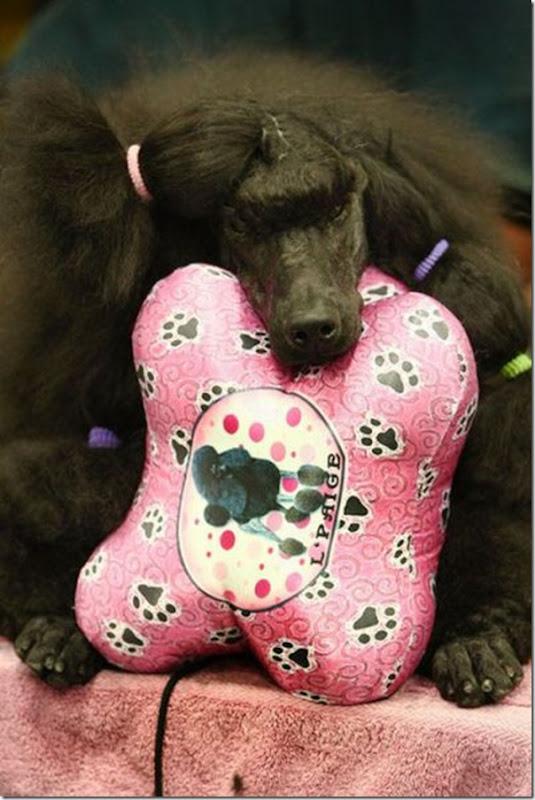Belos e estranhos penteados caninos (6)
