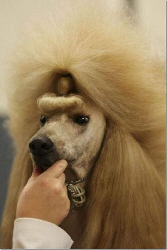 Belos e estranhos penteados caninos (3)