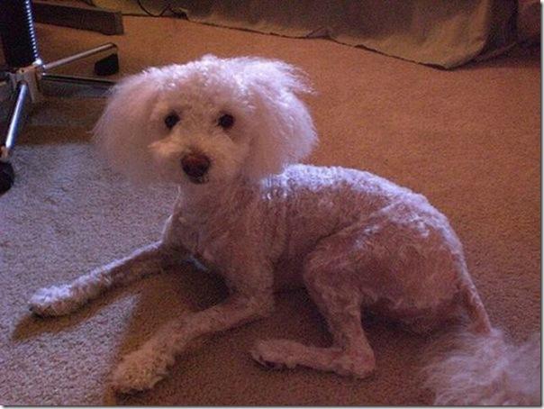 Belos e estranhos penteados caninos (1)