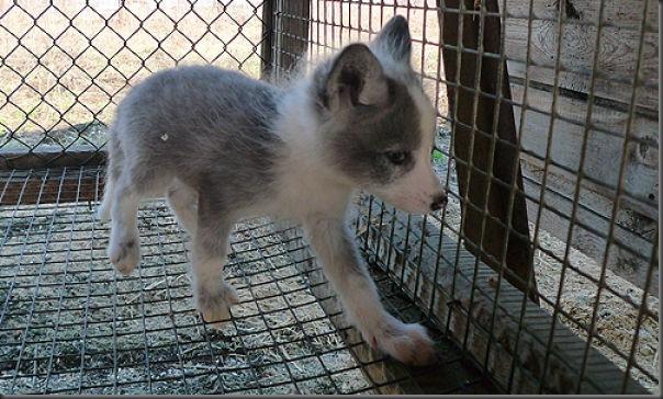 Filhotes de raposa (10)
