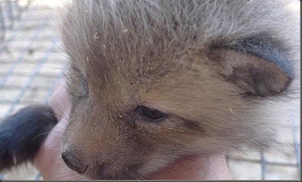Filhotes de raposa (4)