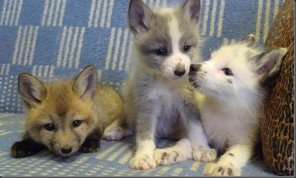 Filhotes de raposa (1)