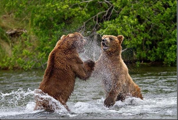 A pesca dos ursos em um rio no Alasca (10)
