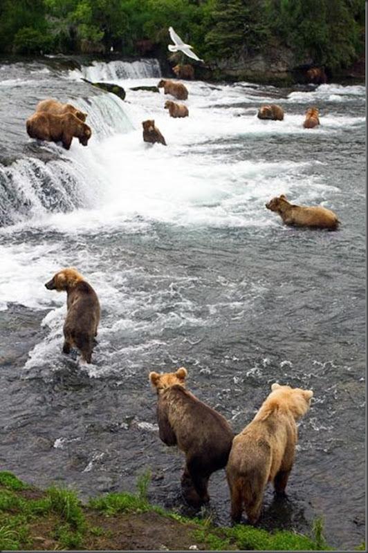 A pesca dos ursos em um rio no Alasca (6)