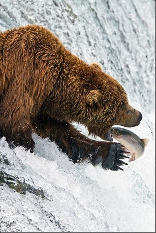 A pesca dos ursos em um rio no Alasca (13)