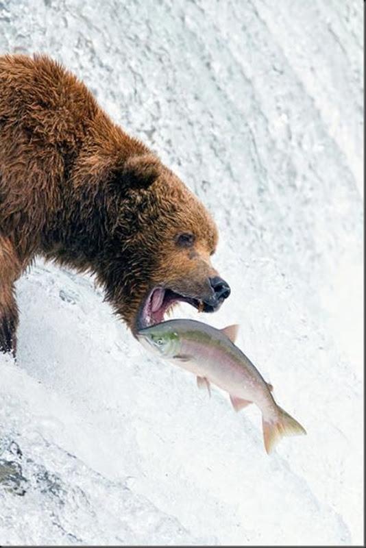 A pesca dos ursos em um rio no Alasca