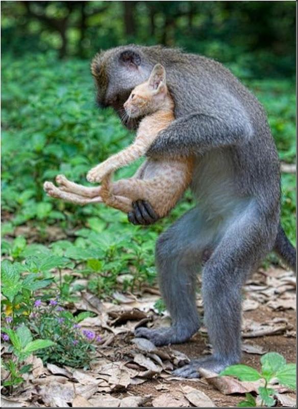 Macaco adota um gatinho (3)