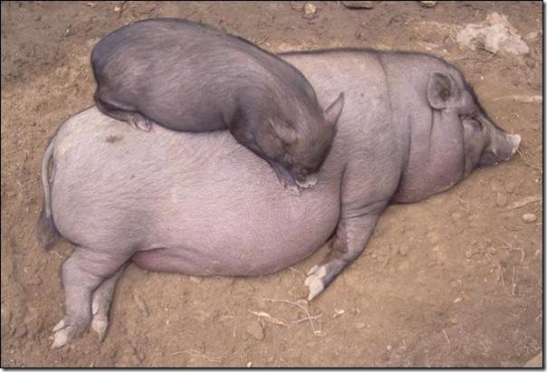 Adoráveis animais dormindo (14)