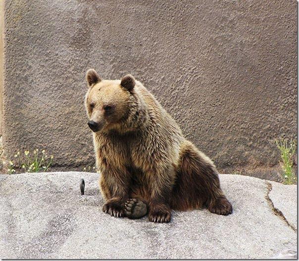 Urso praticando Yoga (4)