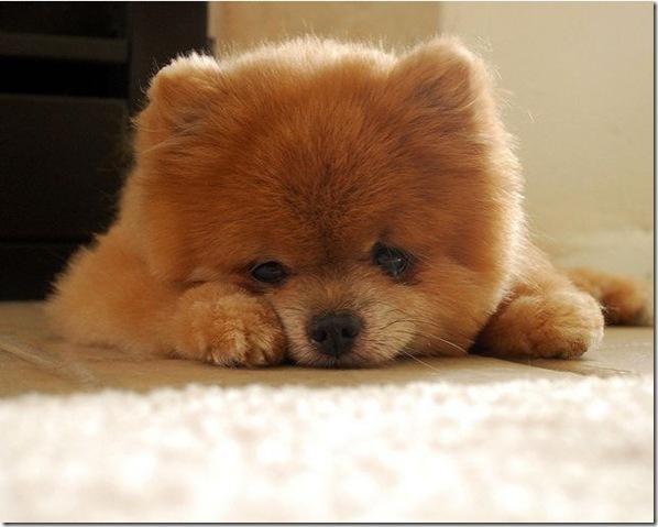 Cachorrinho mais fofo do mundo (3)