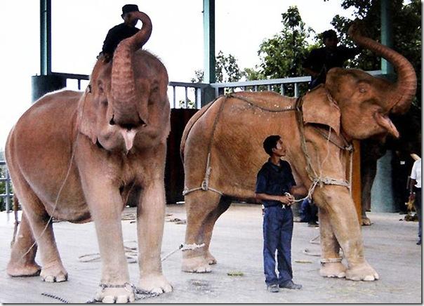 Elefante branco (6)