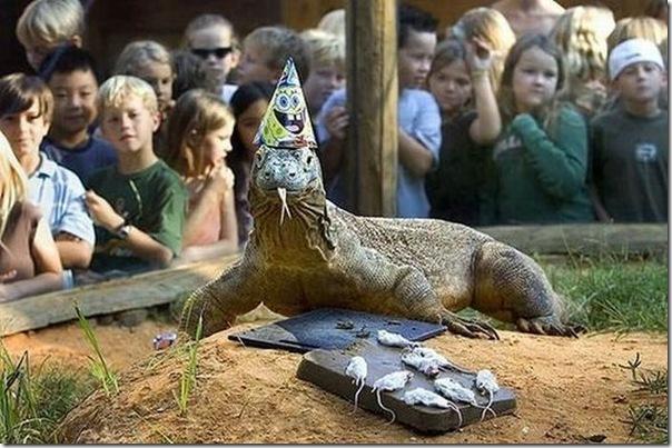 Dragão de comodo comemorando seu aniversário