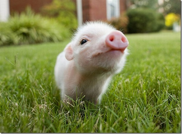 Porquinho bonitinho com um olhar curioso