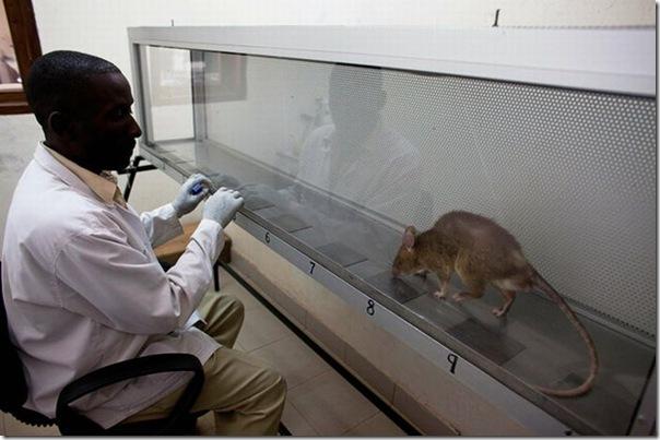Ratos são treinados para detectar minas terrestres (12)